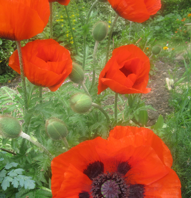 Poppies are not just for Remembrance