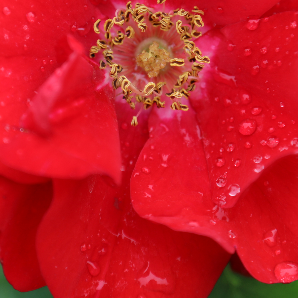 Raindrop on rose petals - almost possible to see the photographer, but not quite