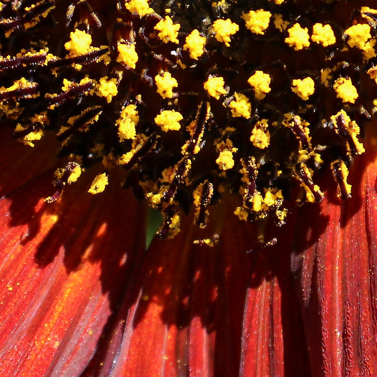 Sunflower 016