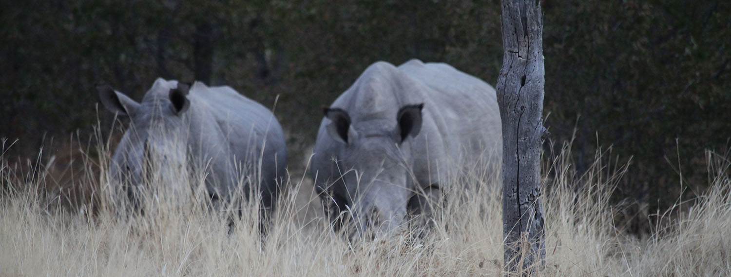 Walking with rhinos is an adrenalin rush that is threatened by poaching that kills hundreds of these beasts annually for their horn