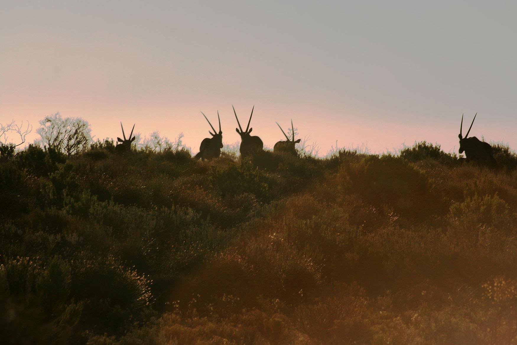 7-oryx