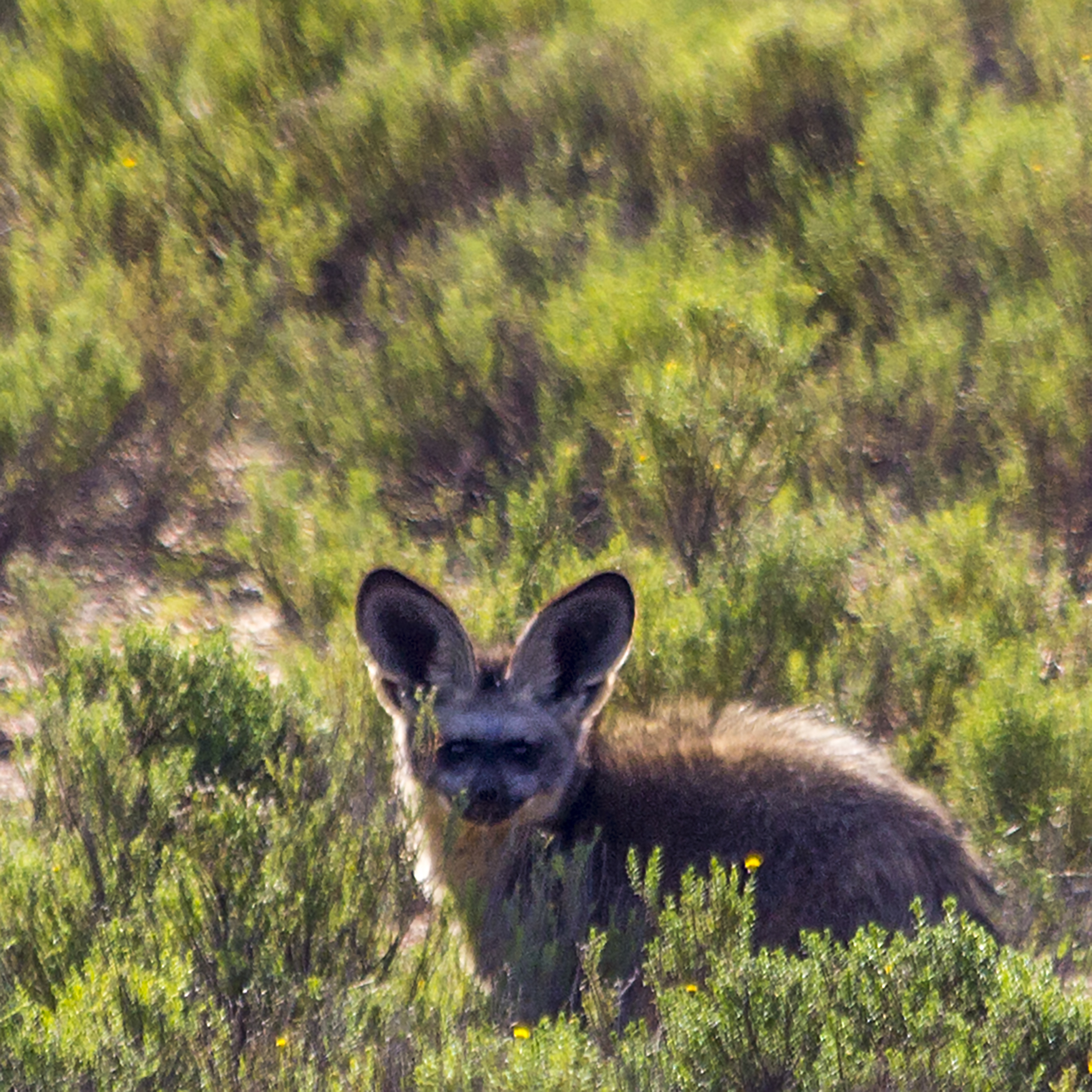 9-bat-eared-fox-img_4914-copy